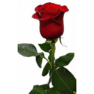 Красная роза 1шт